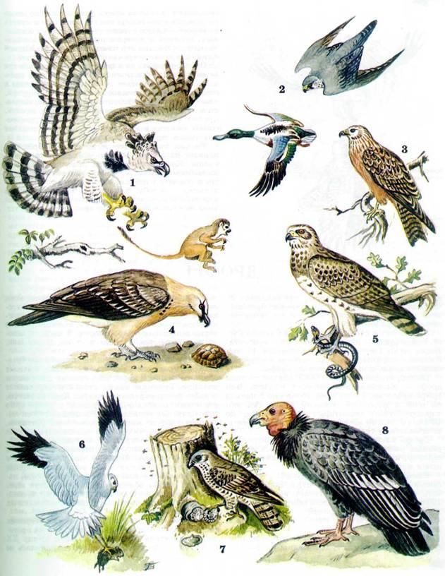 Картинки птица сапсан 1