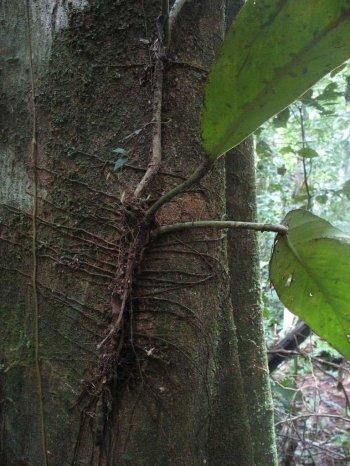 растения паразиты организме человека